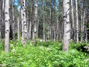 ldensmore_co-mt-sopris_quaking-aspen-grove-2