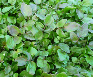 what-is-watercress-8