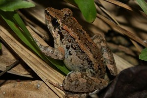 640px-Philippine_Swamp_Frog_(Limnonectes_leytensis)11