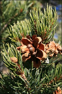 pine-nuts-pinion