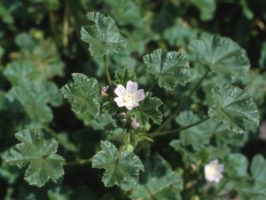 Mallow (Malva neglecta)