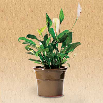 Healthy houseplants for Low light non toxic house plants
