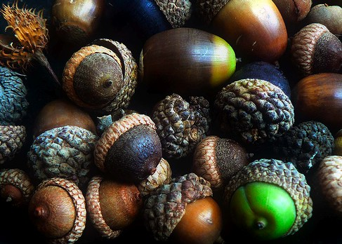 Eating acorns - What you can do with acorns a bit of health and embellishment ...