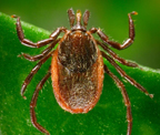 western_blacklegged_tick