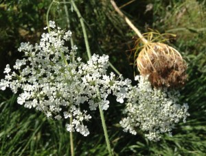 Wild Carrots or Poison Hemlock