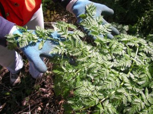 poison-hemlock-leaves-gloves-KCNW