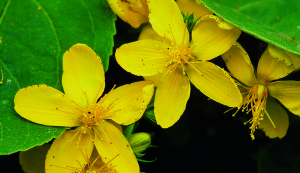 St. John's Wort is native to Europe and naturalized elsewhere. In 1793 the first specimen in the United States was collected in Pennsylvania. The Greek physicians Galen and Dioscorides recommended it as a diuretic, wound-healing herb, and treatment for menstrual disorders. During the Middle Ages, remarkable, even mystical properties were attributed to it—St. John's Wort was thought to be best if harvested on St. John's Day, June 24. Traditionally it was used for wound healing, especially for lacerations involving damaged nerves, and as a diuretic, astringent, and mild sedative. Now used for mild to moderate depression, in clinical trials, patients who took Hypericum extract felt significant improvement in depressive mood indicators such as feelings of sadness, hopelessness, helplessness, and uselessness, as well as fear and difficult or disturbed sleep. St. John's wort extracts may interact with conventional drugs.